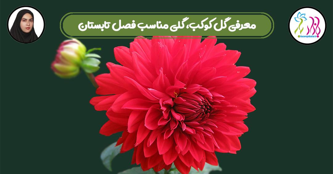 معرفی گل کوکب، گلی مناسب فصل تابستان